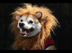 Kuma, a Shibu Inu, poses as a lion at the Tompkins Square Halloween Dog Parade on October 20, 2012 in New York City. Hundreds of dog owners festooned their pets for the annual event, the largest of its kind in the United States.  Credit: John Moore/Getty Images