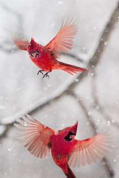 Cardinals in a Snowstorm by Gloria Wilson༻神*ŦƶȠ*神༺