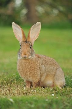 Hare - look at those ears!