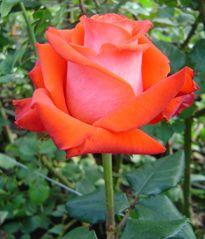 Roses: Bicolor,Orange***The most appreciated bicolor** Bright Orange-Cream Variety.*** Variety: (Verano)**  Number of petals: (45-50)** Vase life:(12-14) days  Fragrance: NO