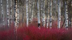 Cornus and Birch - naturally occurs in nature