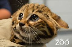 Black-Footed Kittens Are a First For Philadelphia Zoo