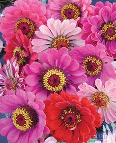 Zinnia 'California Giant' Mix seed | buy at territorialseed.com