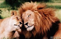 I AM A LEO...SO I LOVE THEM LIONS AND LIONESS'   SWEET