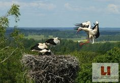 Awesome photo of a stork family and its nest in the Latvian countryside.