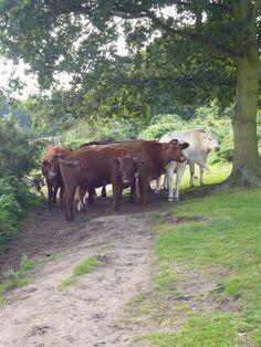 cows cows cows cows