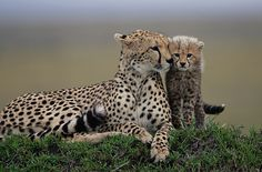 wild cat, cheetahs, big cats, mothers day, baby animals with mom