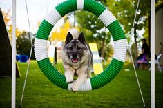 Good Neighbor Dog Training, www.gndt.net, has been offering group classes and private instruction for over 20 years in southern Idaho. Owner and lead instructor, Marti Kincaid, is a life member of NADOI, past president, and currently serves on several committees for the organization. The dog shown on the agility equipment is one of her favorite elkhounds, AOM CH Denmar Lenans Ride the Wind RN NAP NJP at 9 yrs old.