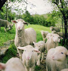 Lambys!!