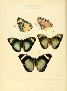 yellow butterfli, vintage illustrations, butterflies, green, art, botan, papillon, insect, print