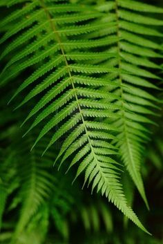 Fern - Sincerity/my fern bed.....from a sandy bank in east texas