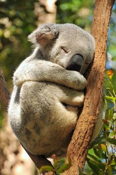 Koalas can sleep up to 18 hours in one day! Talk about a power snooze...such  a sweet photo!