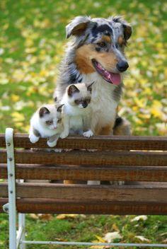 Siamese Kittens and an Australian Shepherd (by Greg-O-Ree)