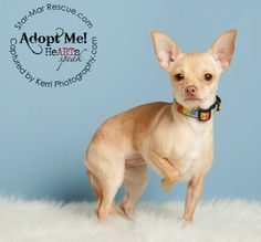 Meet our adorable Juicy.  She is a 9 month old, 4.7 pound, ADORABLE little Chi.  Juicy was an owner surrender.  We're sure that her name must come from her color - which is orange.Juicy is a very well behaved little girl.  She loves everyone and...