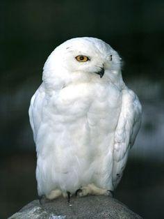 Snowy Owl. Love it.