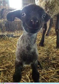 Happy lamby.