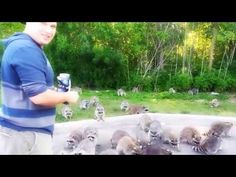 ▶ Raccoons going crazy for doritos! - YouTube