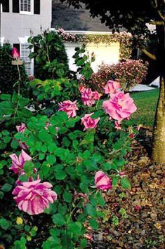 1 or 2? Carefree Beauty Shrub Rose
