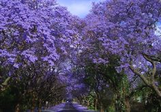 Jacarandas Walk, South Africa : More than 70,000 Jacaranda trees add color to Pretoria, South Africa.Though the Jacaranda tree is native to South America, many varieties of the plant were imported to South Africa more than 100 years ago. The trees bloom in October, erupting in purple-blue blossoms that dot the country. Johannesburg is home to a number of the trees (as well as the world's largest manmade forest) and the city of Pretoria houses more than 70,000.