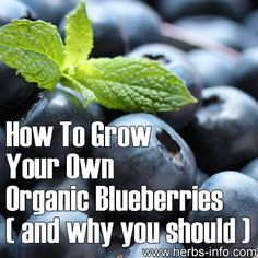 How To Grow Your Own Organic Blueberries