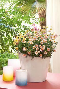 La beauté des petites fleurs ! Anthémis couleur :)