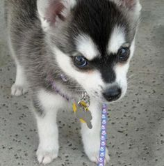"Alaskan Klee Kai. Commonly known as the ""mini husky"""