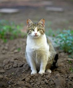This is a guide about keeping cats out of the garden. Have your or the neighbor's cats decided to use your garden as their personal litterbox? What are some effective methods of keeping our furry friends out safely?