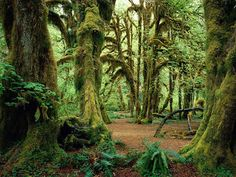 The Olympic National Park in Washington - The maple Glade Trail