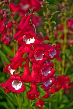 Splendid red pestemon...hummingbirds will go crazy for this