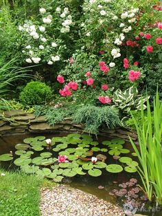 Pond with roses