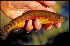 Golden Trout california trout, trout golden, golden trout