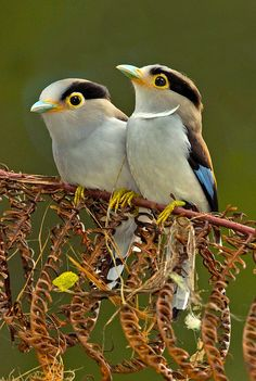 magicalnaturetour: Photo by grguy~ Silver-breasted Broadbill pair. :)