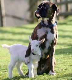 This lamb's best friend