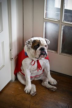 one day, anim, bulldog puppies, heroes, capes, english bulldogs, funni, pet, superhero