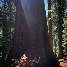 Mackenzie Grove #bigtrees #california