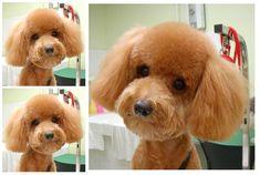 Toy poodle Teddy bear cut…. omg sooo cute!