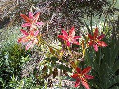 Blackberry Lily  6-27-2012