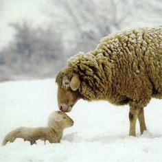 a kiss, animals, god, mothers, winter, snow, lambs, sheep, sweet kisses