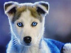 Siberian Husky Puppy with blue eyes.