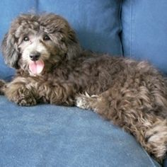 Lhasapoo | 22 Awesome Poodle Mixes That You Totally Need To Know About