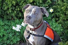 Coal the Super Dog - This rescued pit bull comforts returning soldiers, works as a search and rescue dog, and shines as an all-around ambassador rescu dog, pit bull, return soldier