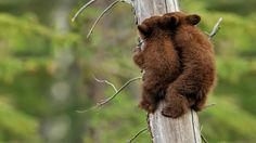 Bear cub climbing lesson.