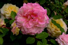 Texas Roses! This is Mrs. Dudley Cross.  Multiple colors on one rose bush.