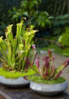 carnivor plant, bog gardens, bog plants, carnivor centerpiec, garden idea, pitcher plant, carnivorous plants, centerpiec gift, concrete planters