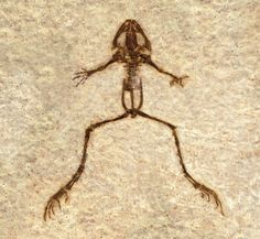 From Fossil Lake, which was teeming with life during the early Eocene, about 52 million years ago. Only one frog has ever been found at the formation. The single specimen pictured here measures just 1.6 inches (4 cm) long.