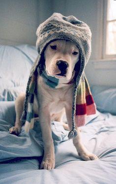 #American #Bulldog / #strong #muscular #cute #dog #smiley #bully