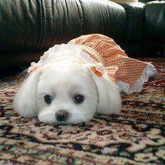 Nothing like a sweet Maltese Dog <3