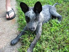 animals, pet, puppy pictures, blue heelers, aunts