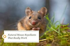 Natural mouse repellants that really work