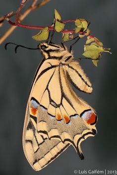 ~~Papilio machaon (Linnaeus, 1758) by Luis Gaifem ~ Butterfly~~